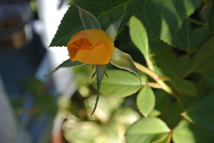 The Yellow Rose of Sharon